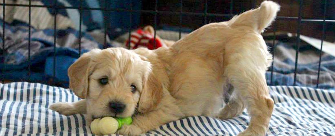 Kaos Farm Goldendoodles Miniature Goldendoodle Puppies Nc